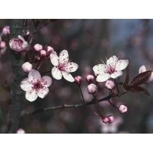 Close Up of Cheery Plum Blossom Flowers (Prunus Cerasifera