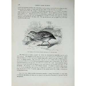CassellS Birds C1870 African Bush Quail Gallinaceous