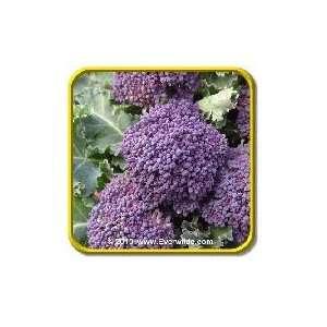 Purple Sprouting   Broccoli Seeds   Jumbo Seed Packet