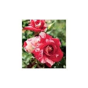 Peppermint Splash Rose Seeds Packet Patio, Lawn & Garden