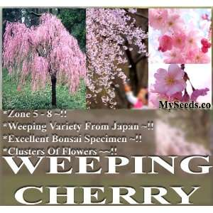 100 JAPANESE Weeping Cherry Tree Seeds A++ SPECIMEN