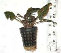 BRONZE CRYPT Wendtii LOW LITE LIVE AQUATIC PLANT