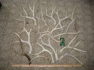 White mule deer shed antlers / Whitetail elk craft antler sheds