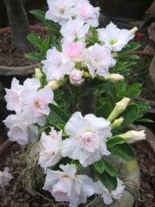 Adenium Obesum WHITE WHITE Fresh 50 Seeds