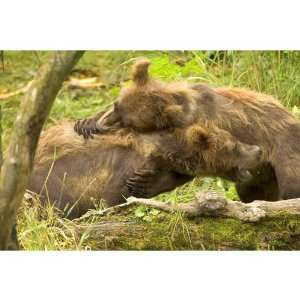 Two Grizzly Bear Cubs Mammals Ursus Arctos Animals Pets Peel And Stick