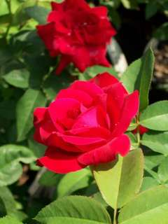 Red Hybrid Tea Rose 2 Gal Bush Plants Plant Landscape Roses